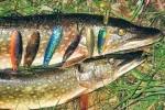 С колебалками Stinger за щукой Чебоксарского водохранилища